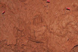 A bear print captured in the mud